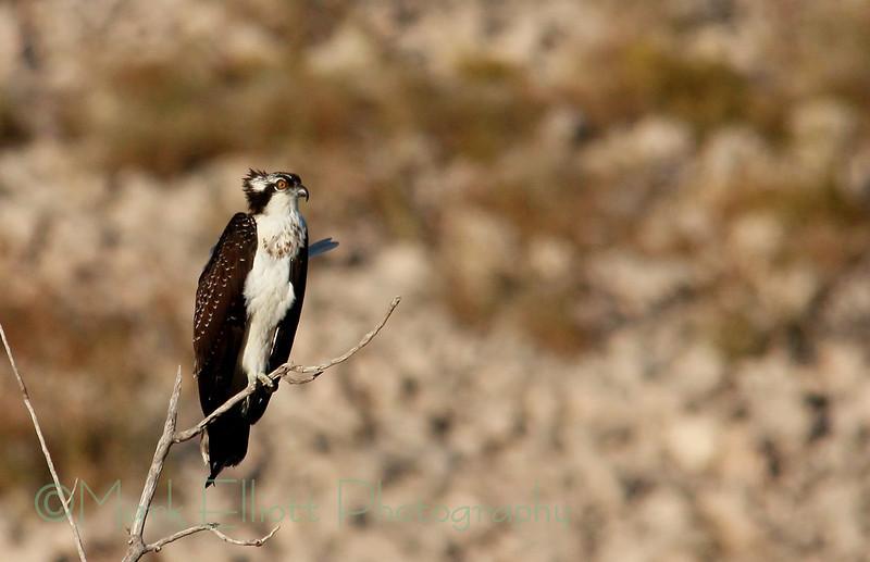 Osprey (25)