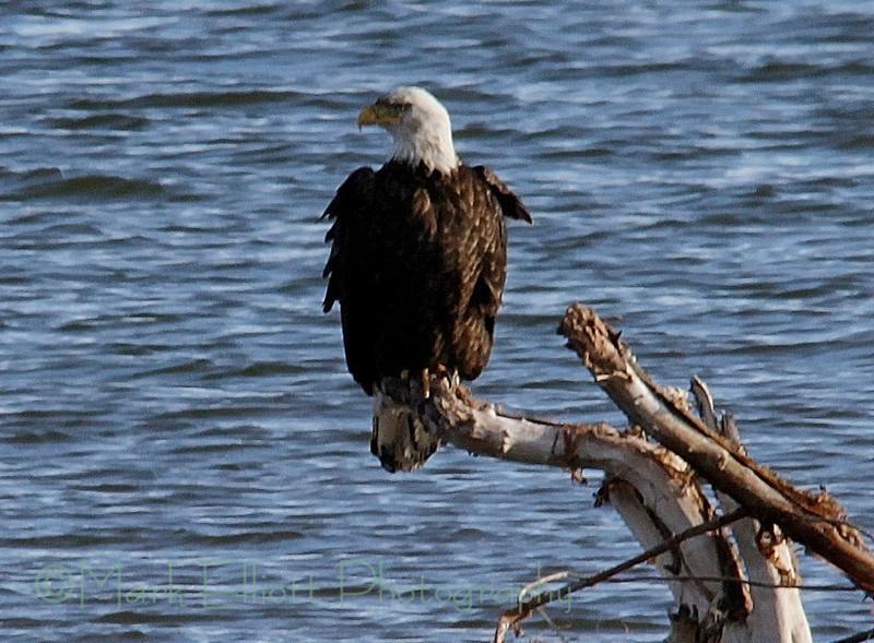 Bald Eagle (159)