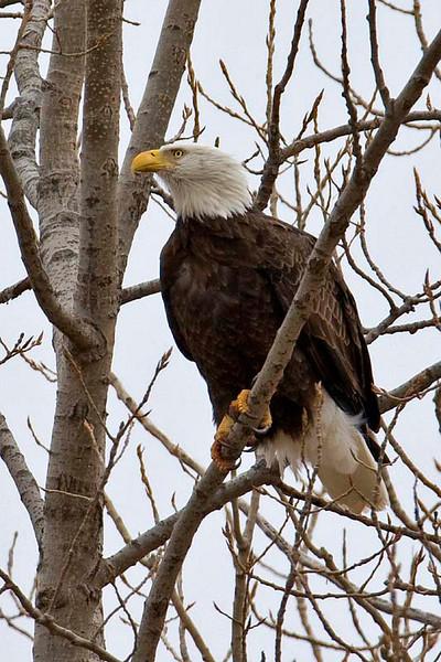 eagle10