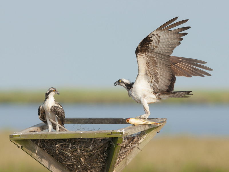Osprey Mother and Chick