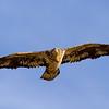 eagle37