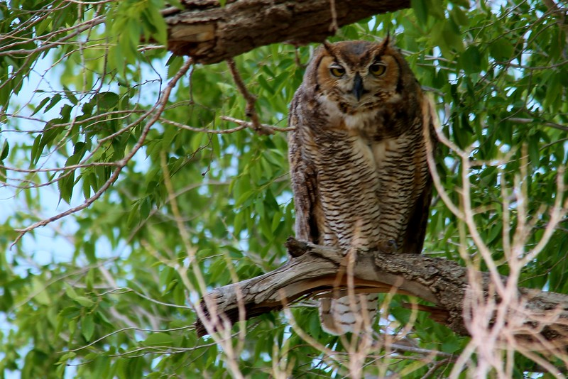 Great Horned Owl (68)