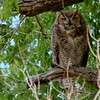 Great Horned Owl (68)