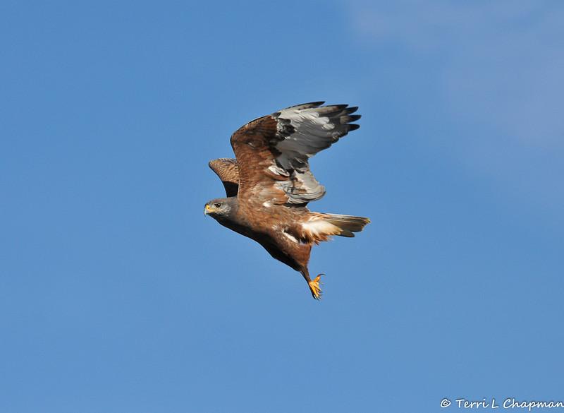 A Ferruginous Hawk (dark morph) in flight
