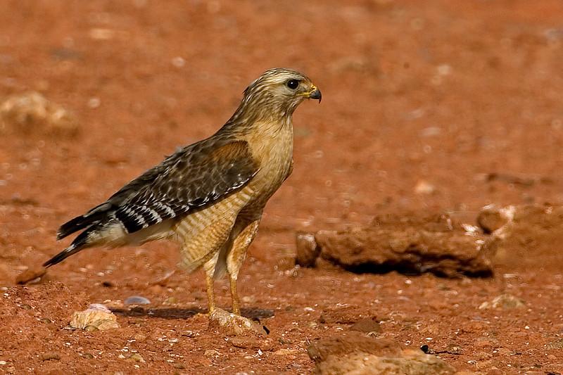 red-shouldered-hawk7