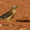 red-shouldered-hawk7