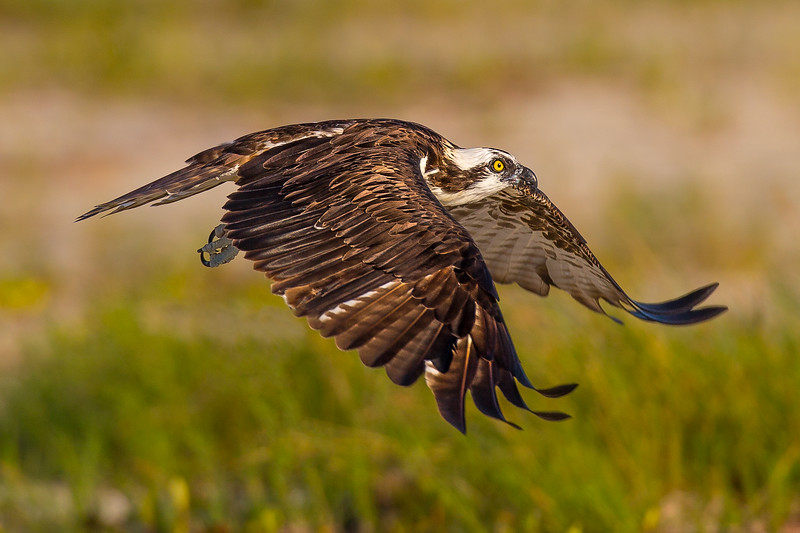 Osprey without fish