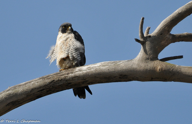 A Peregrine Falcon photographed at Bolsa Chica State Beach