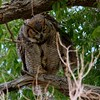 Great Horned Owl (64)