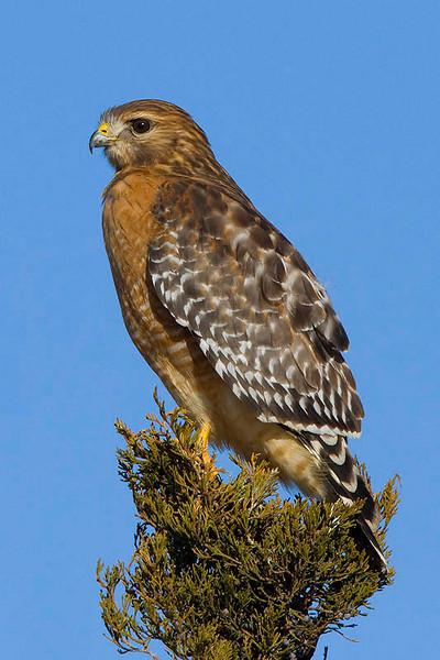 red-shouldered-hawk17