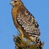red-shouldered-hawk17