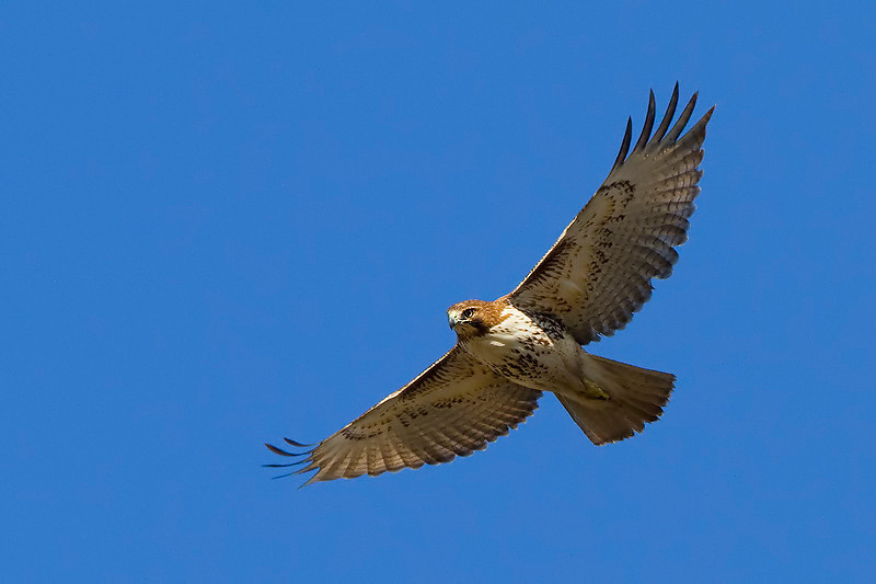 red-tailed0hawk11