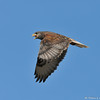 A Ferruginous Hawk (dark morph) in flight