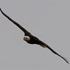 Bald Eagle (287)