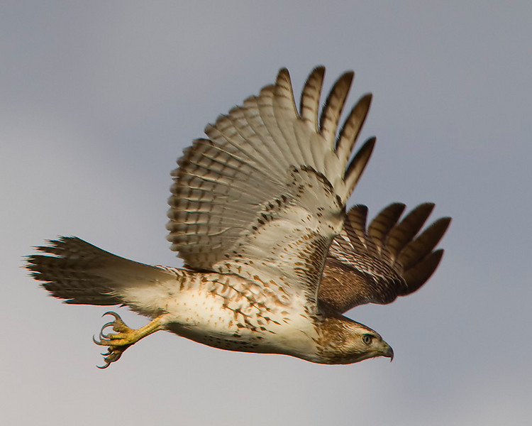 red-tailed-hawk30