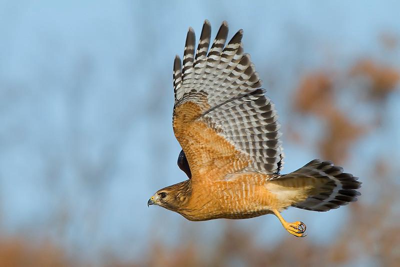 red-shouldered-hawk19