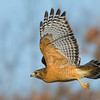 red-shouldered-hawk19