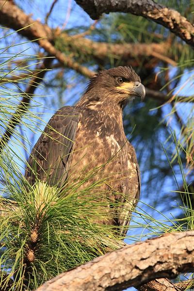 Bald Eagle baby