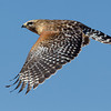 red-shouldered-hawk26