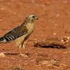 red-shouldered-hawk5