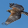 red-shouldered-hawk25
