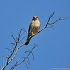 A male American Kestrel