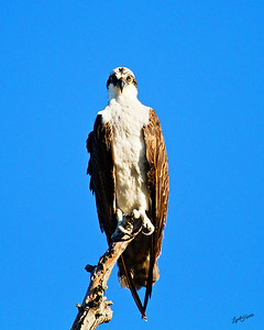Osprey sitting pretty
