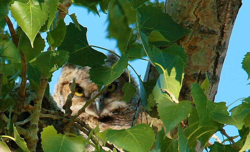 Great Horned Owlet (29)