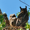 Great Horned Owl (5)