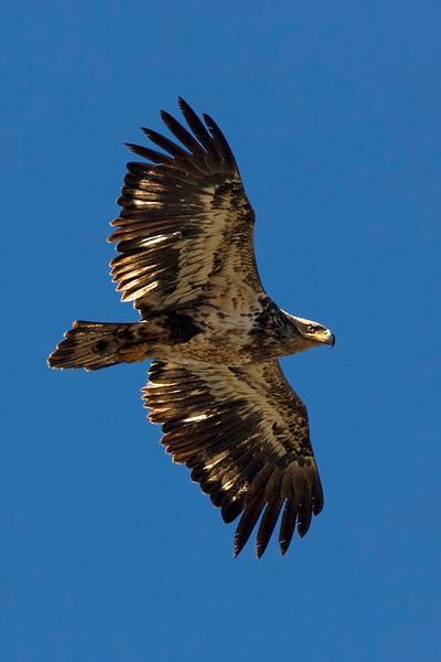 Bald Eagle (Lake Keystone)