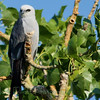 Mississippi Kite (8)