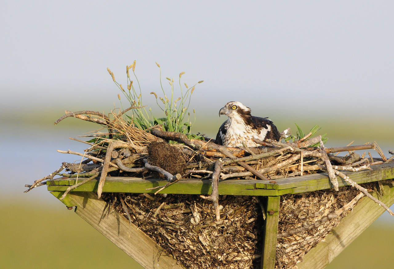 Osprey Mother Incubating