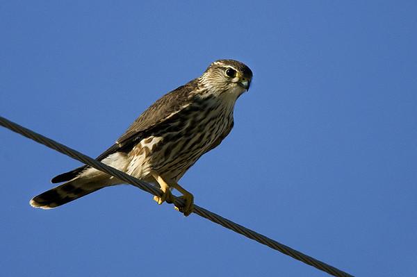 Prarie falcon
