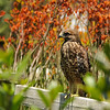 This fledgling Red-shouldered Hawk was learning to fly in the Boething Treeland Nursery while I was there to purchase garden plants. His presence was an added bonus to my trip to the nursery!