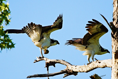 Two Osprey
