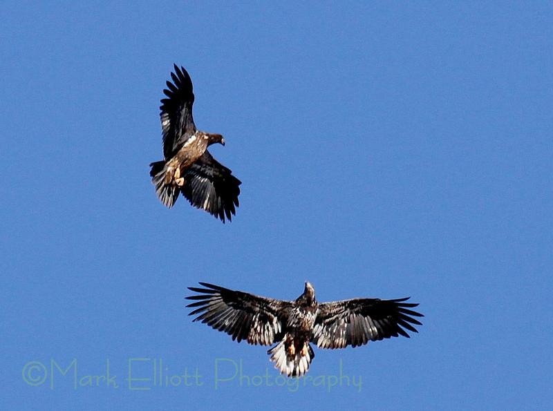 Bald Eagle (117)