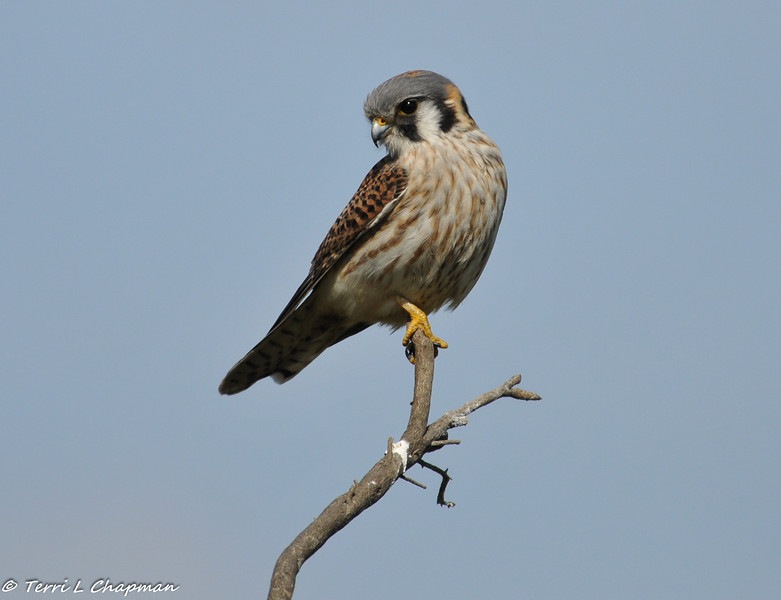 American Kestral (female) searching a field for food