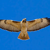red-tailed-hawk12
