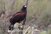 Harrises Hawk on perch