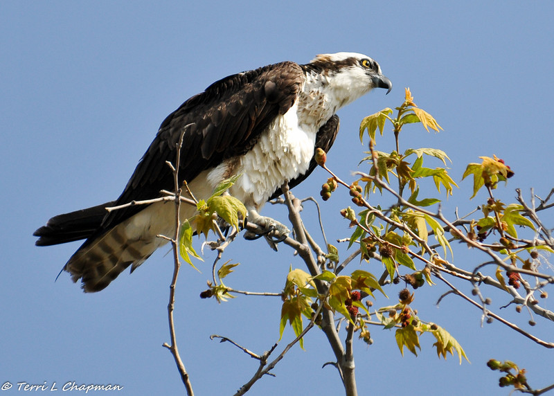 An Osprey on the look out for a fish