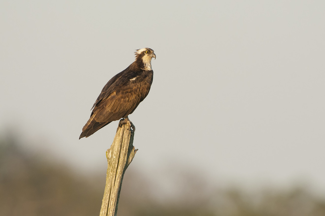 Osprey Male Perched in a Snag