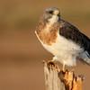 Swainson's Hawk (87)
