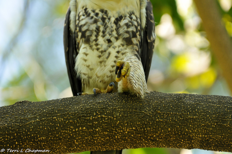 Red-tailed Hawk fledgling stretching his leg