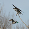 Osprey (two Mallards flying in the background)