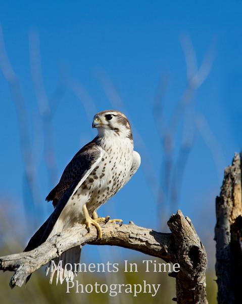 Falcon, peregrine  (Falco peregrinus)
