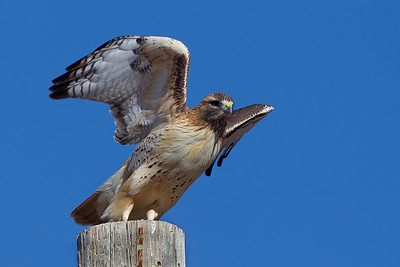 red-tailed-hawk33