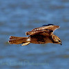 Red-tailed hawk (53)