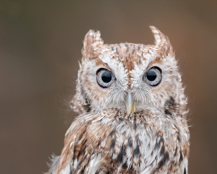 Eastern Screech Owl - Red Phase - (Captive)