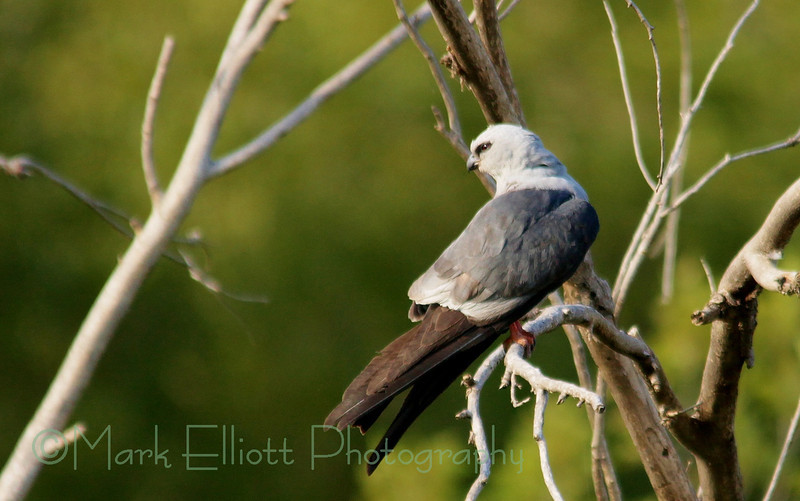 Mississippi Kite (47)