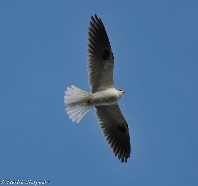 White-tailed Kite in flight